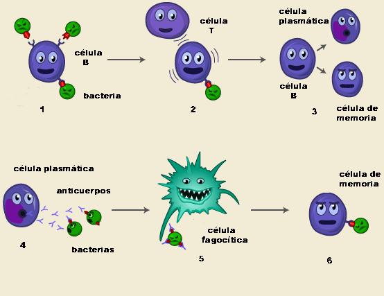 Esquema de la actuación del sistema inmunitario